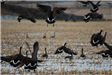 Migrating Canadian Geese Starting to Fly Away in Field