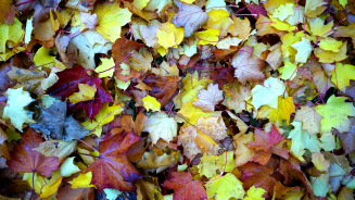 Stock Image of Multi Autumn Colored Leaves